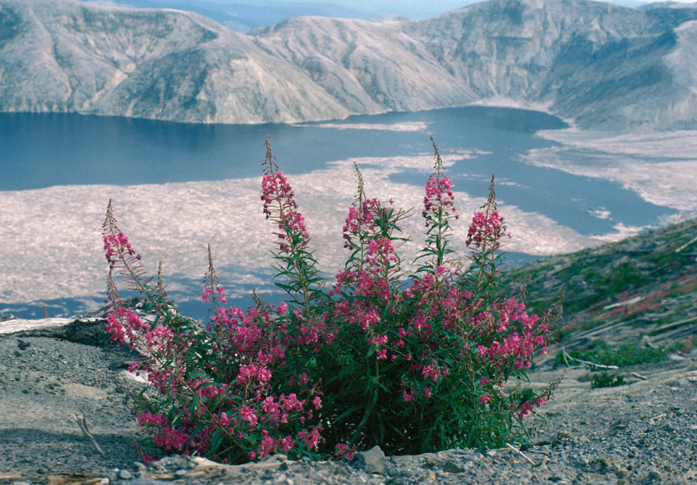Fireweed with Spirit Lake n September 4, 1984