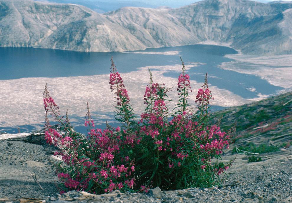 Fireweed with Spirit Lake n September 4, 1984