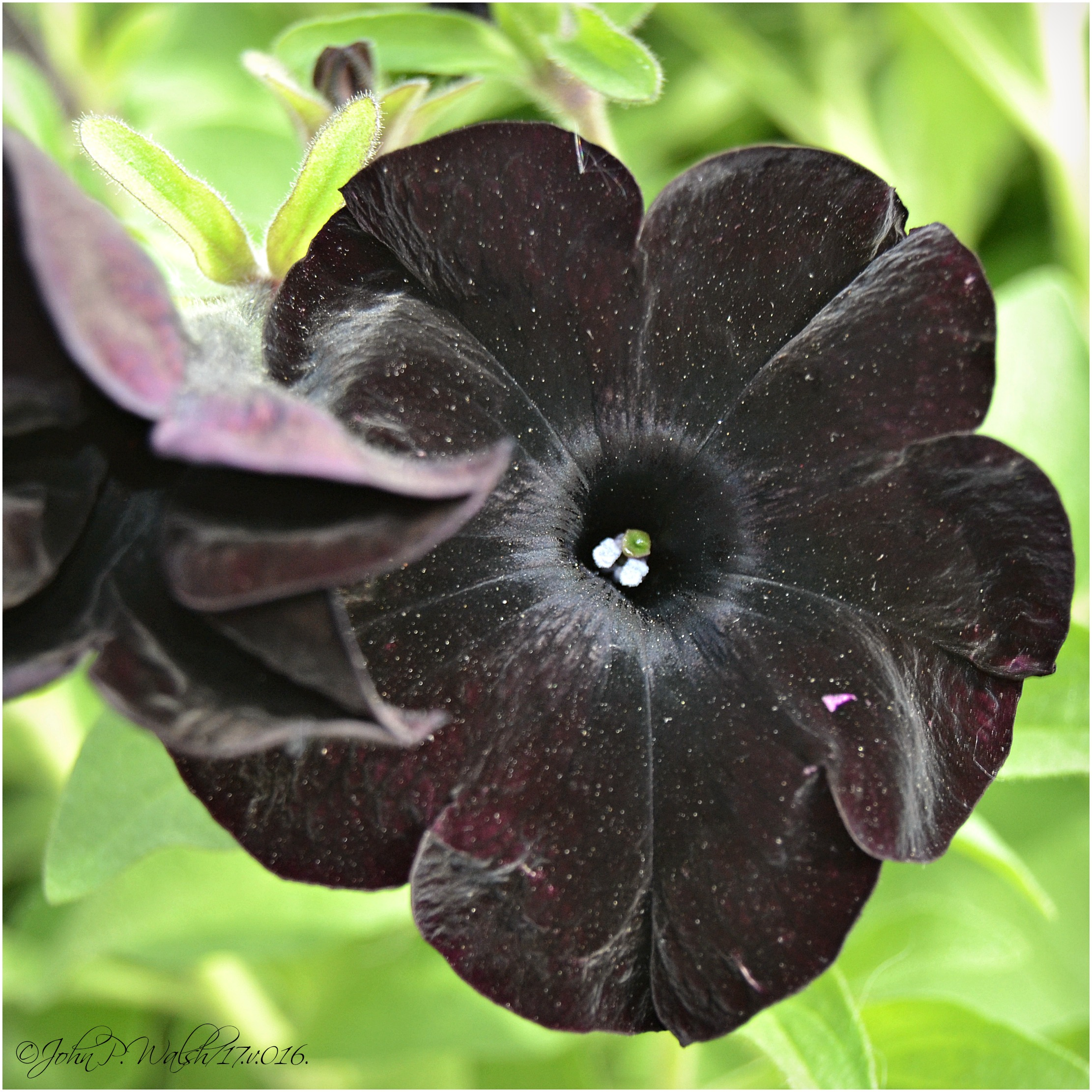 black magic petunia 5.17.16