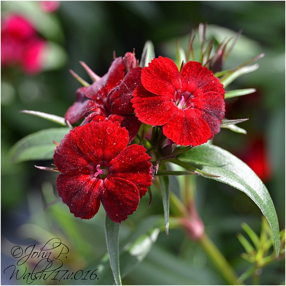 dianthus 5.17.16 final copy DSC_0026