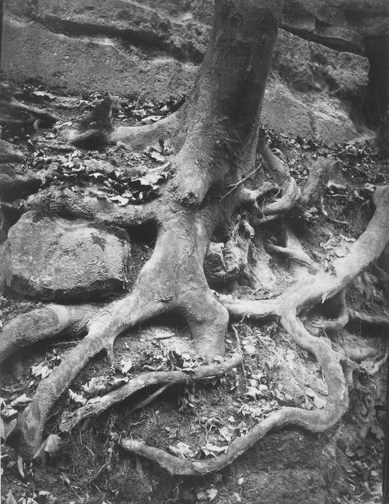 Atget, Tree Roots, Saint Cloud Park, 1906.