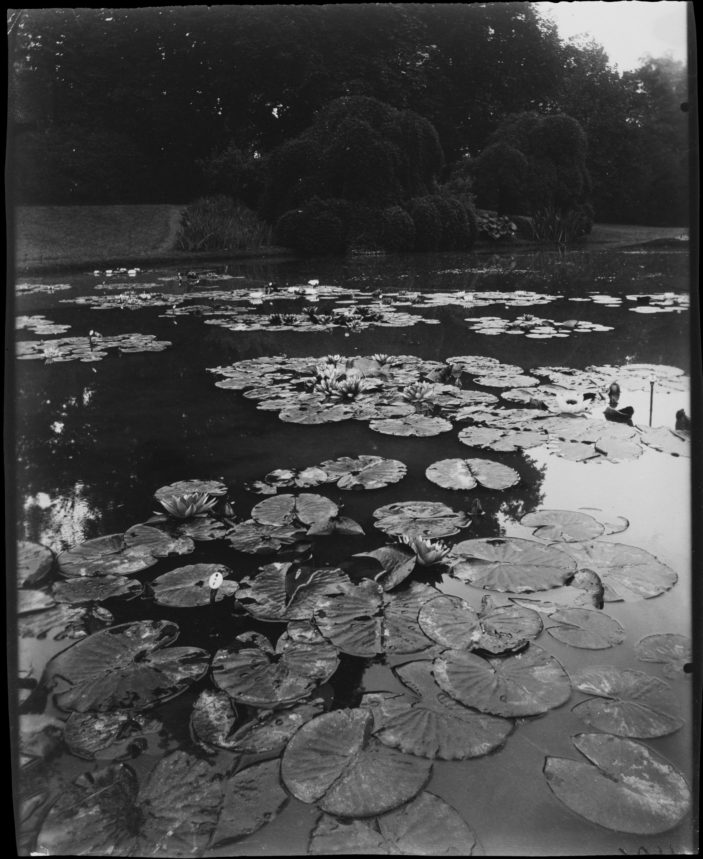 Eugène Atget, Water Lilies, before 1911.